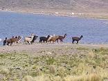 lake titicaca lamas